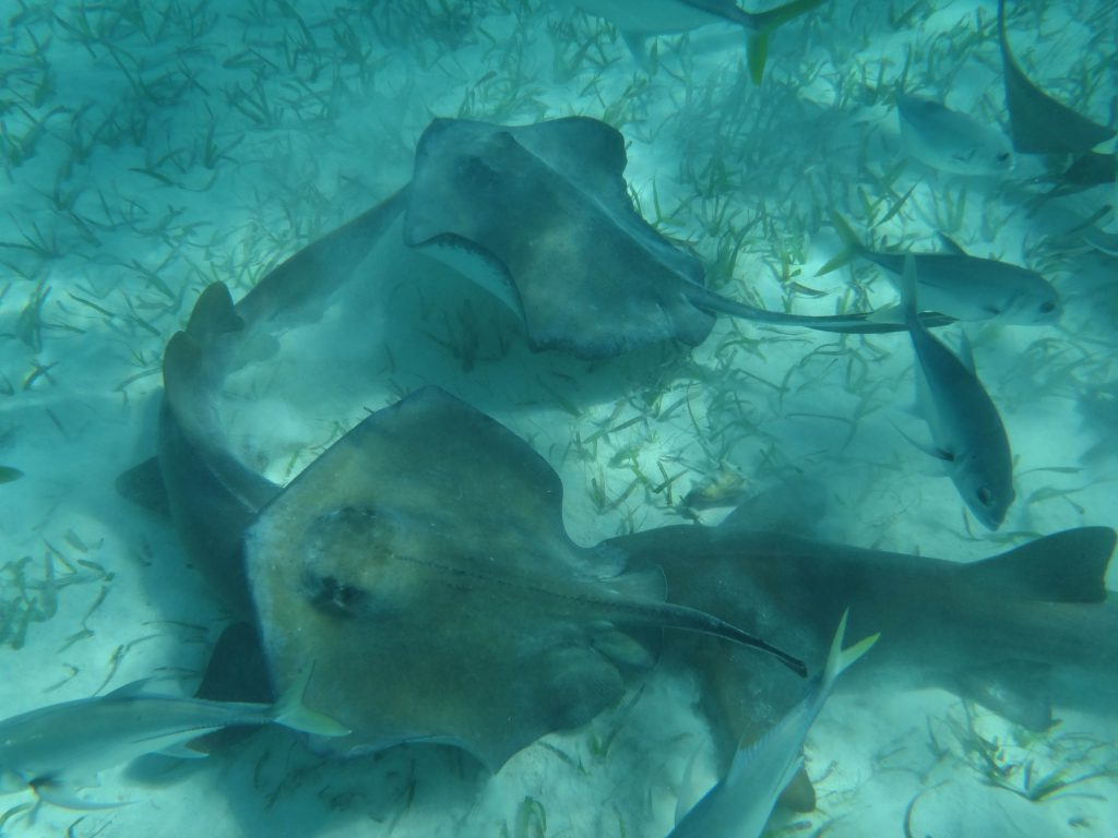 Stingrays and Sharks in the Caribbean Sea. Photo by Brandy Little.