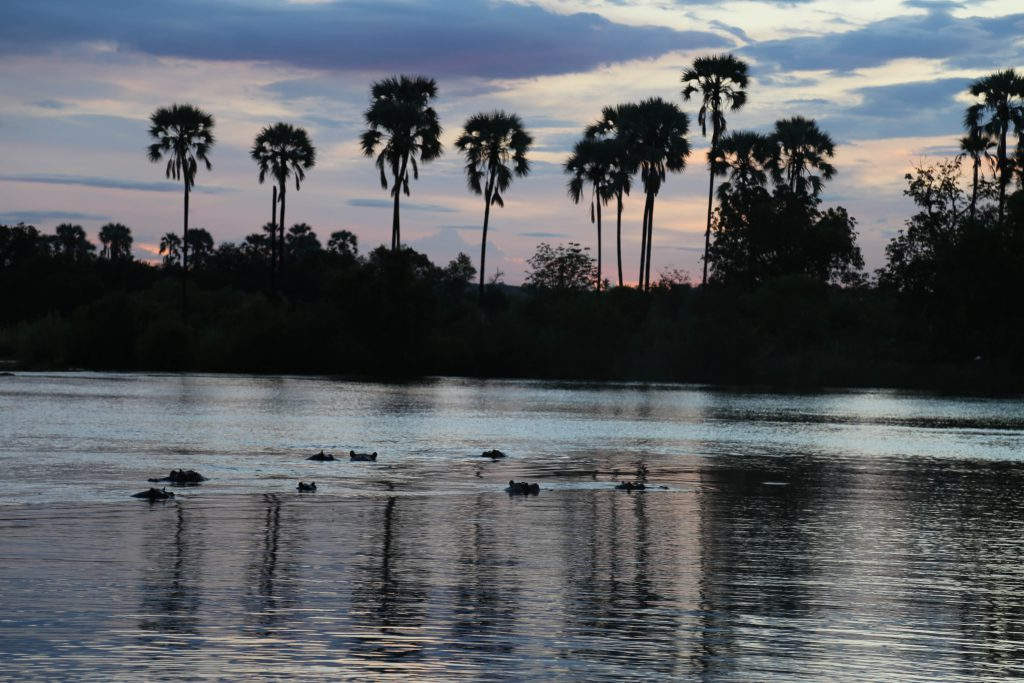 Hippopotamuses in the Zambezi River photo by Brandy Little