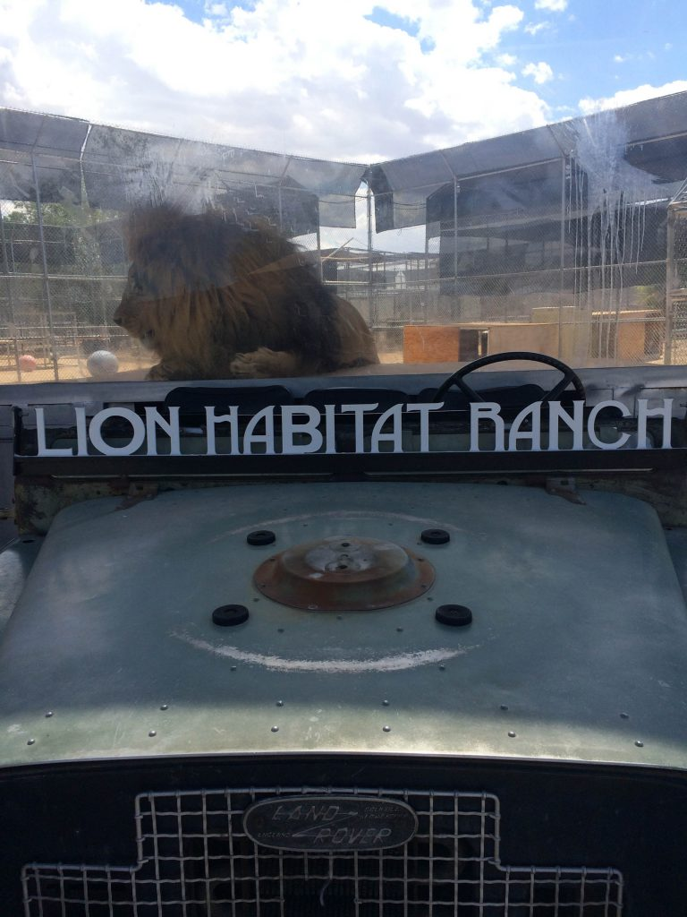 Lion Habitat in Las Vegas. Photo by Brandy Little.