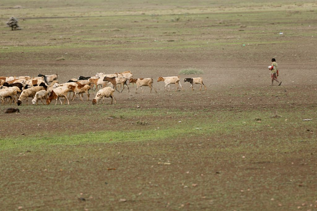 A tribesman herding cows in the Serengeti. Photo by Brandy Little.