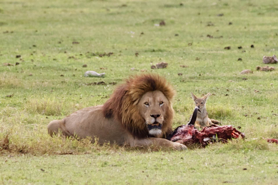 Lion eating in the Serengeti. Photo by Brandy Little.