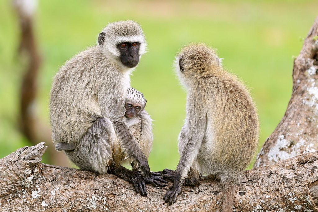 Vervet Monkeys, photo by Brandy Little