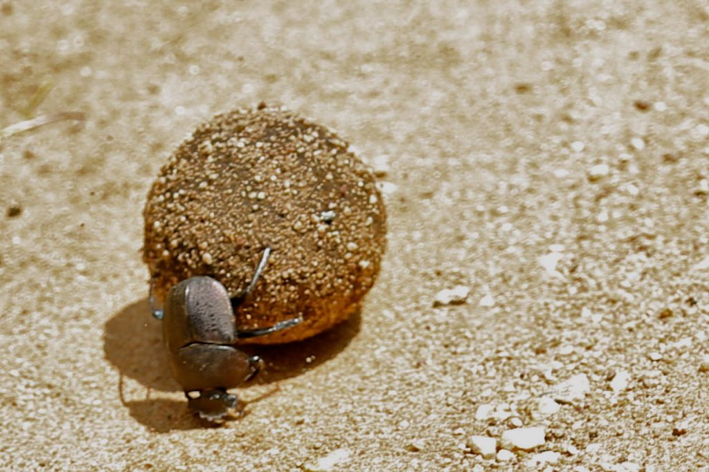 Dung Beetle, photo by Brandy Little