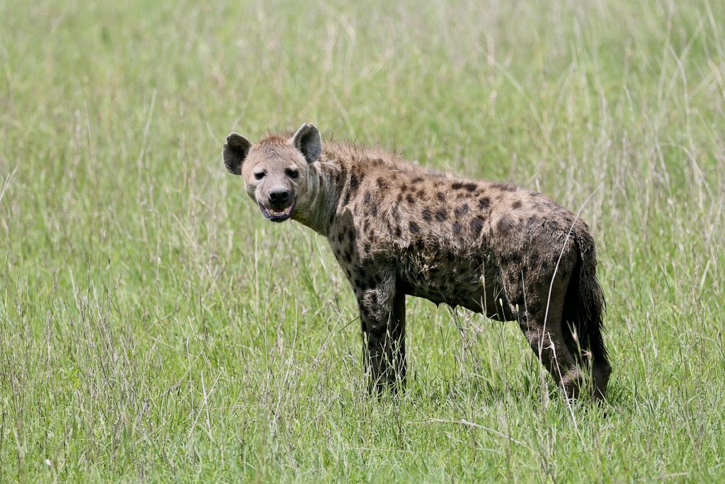Hyena, photo by Brandy Little