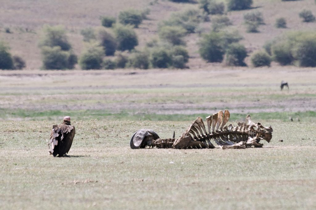 Vulture scavenging food, photo by Brandy Little