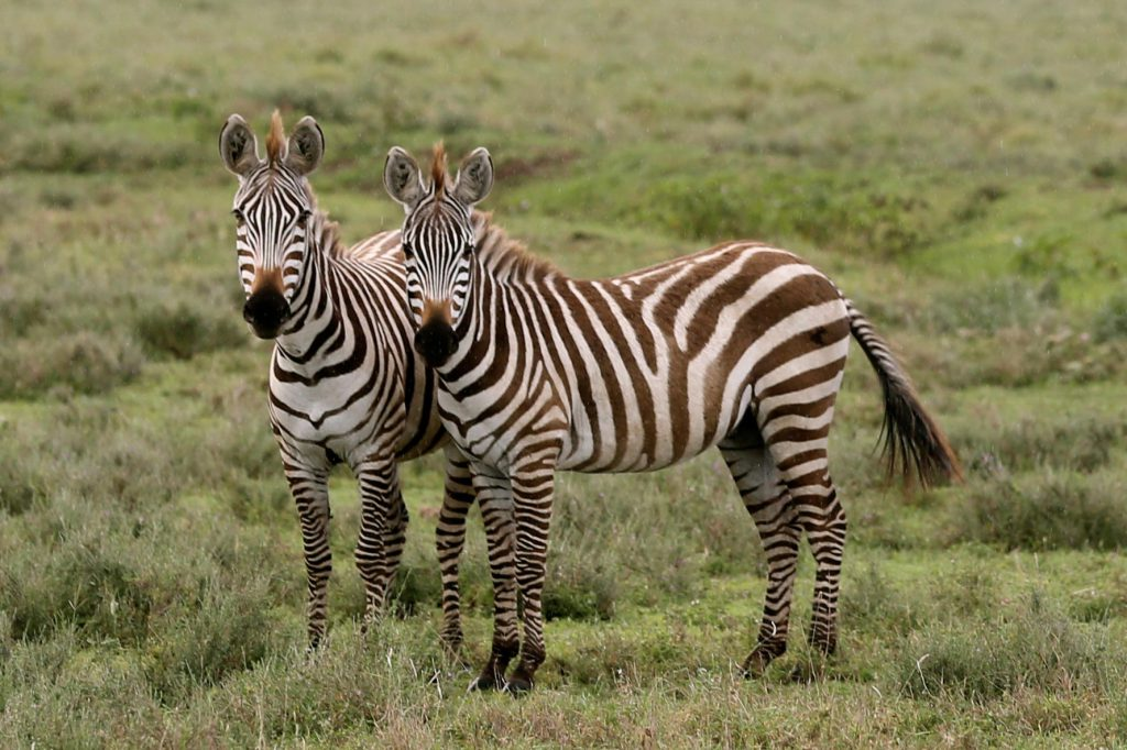 Zebras, photo by Brandy Little