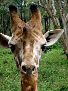 This giraffe is alert photo by Brandy Little