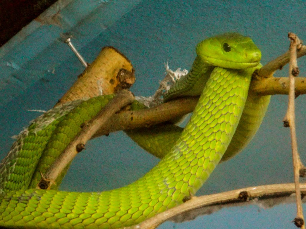 Green Mamba at the Nairobi Snake Park photo by Brandy Little