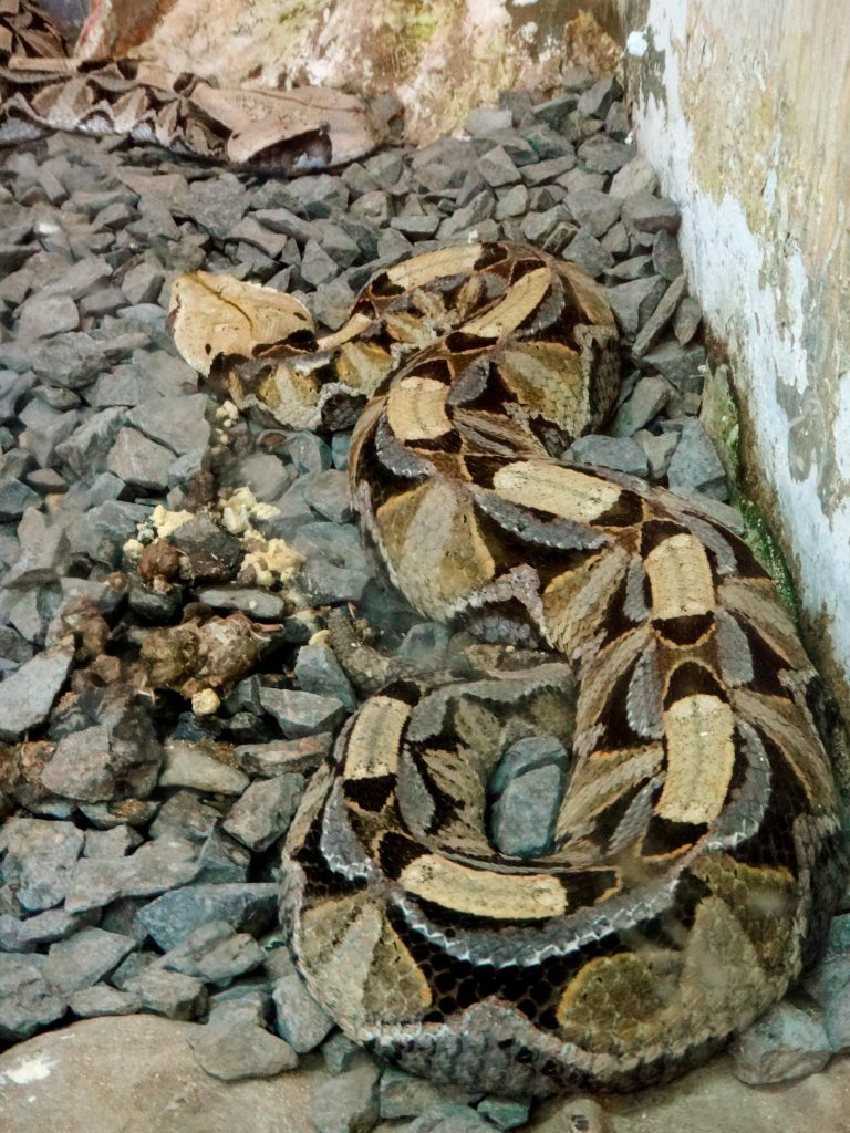 Gaboon Viper at the Nairobi Snake Park photo by Brandy Little