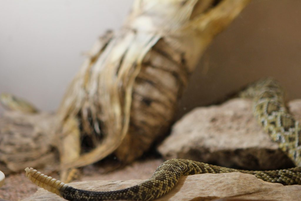 Rattlesnake in the American International Rattlesnake Museum photo by Brandy Little