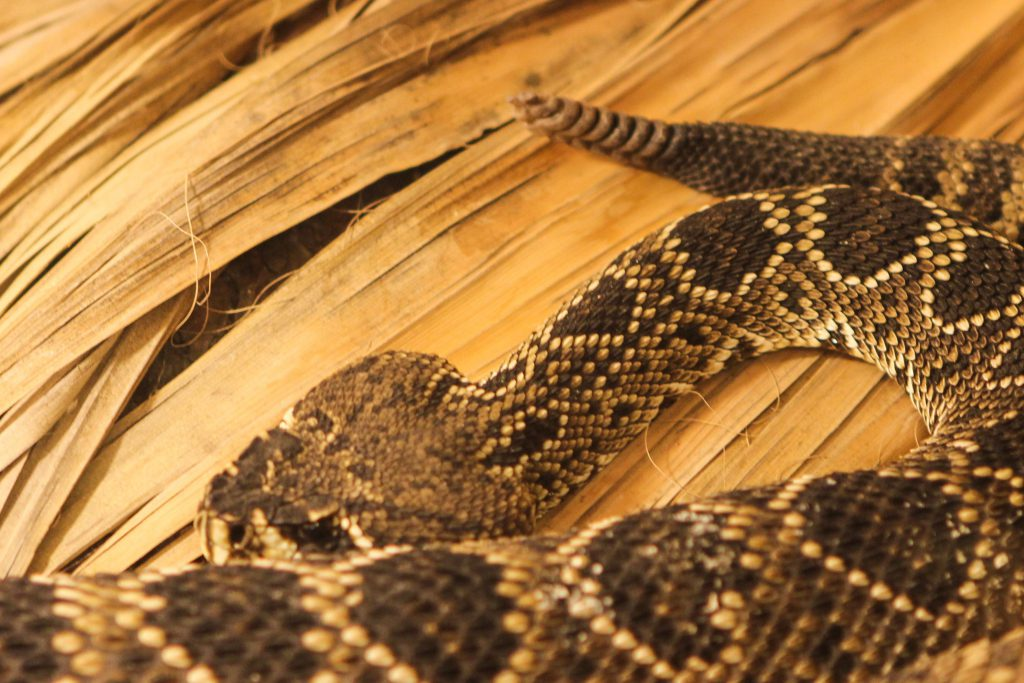 Rattlesnake in the American International Rattlesnake Museum photo by Brandy Little